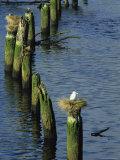 Gulls Nest Atop Pilings in the Nehalem River  Oregon