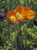 Orange Poppy Flower in the Dallas Arboretum in Dallas  Texas