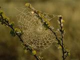 Dew Highlights an Orb-Weaver Spider's Web