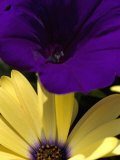 Purple Petunia and Yellow Osteospermum Sitting Side by Side  Groton  Connecticut