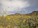 Desert Wildflowers in Death Valley National Park  California