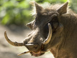 Mean Looking Warthog with Very Long Tusks Looks at the Camera  Henry Doorly Zoo  Nebraska