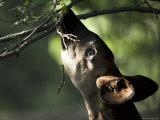Okapi Reaches for a Little Snack at the Henry Doorly Zoo  Nebraska