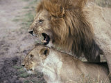 Lions Mating in the Masai Mara National Park  Kenya