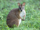 Parma Wallaby at the Sunset Zoo in Manhattan  Kansas