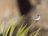 Loggerhead Shrike at Cottonwood Springs  Joshua Tree National Park  California