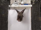 Rodrigues Fruit Bat  Lincoln  Nebraska