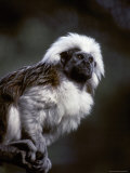 Portrait of a Cotton-Top Tamarin  and Detail of Fur Coat and Face  Melbourne Zoo  Australia