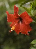Red Hibiscus Flower  Hawaii