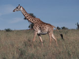 Masai Giraffe Strolling the Grasslands of Kenya