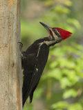 Pileatd Woodpecker Scales a Pine Tree Trunk