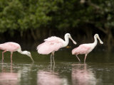 Roseate Spoonbills Feed on a Mangrove Island  Tampa Bay  Florida