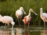 Roseate Spoonbills Forage Along the Edges of a Mangrove Island  Tampa Bay  Florida