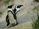 Pair of Jackass Penguins