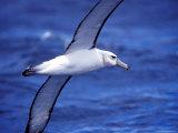 Majestic Vulnerable Shy Albatross in Flight over a Blue Ocean  Australia