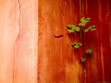 Plant Growing in Crack in Red Wall of Ming Dynasty Chinese Mausoleum  China