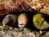 Three Species of Moray Eel All Sharing the Same Hole, Bali, Indonesia Papier Photo par Tim Laman