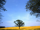 Lone Tree Stands in a Field of Yellow Flowers  Oregon
