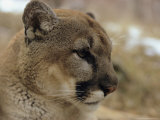 Portrait of a Mountain Lion in Profile