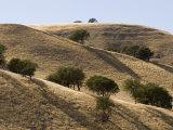 Valley Oak Trees Cast Shadows on a Dry Hillside  California