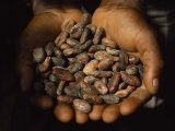 Pair of Hands Holds a Pile of Brown  Dried Cacao Beans
