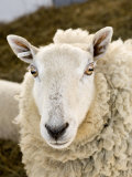 Portrait of a Sheep with Ear Tag  Pennsylvania