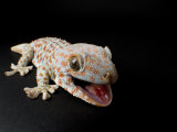 Tokay Gecko at the Sunset Zoo in Manhattan  Kansas
