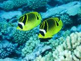 Two Racoon Butterflyfish  Takapoto Atoll  French Polynesia