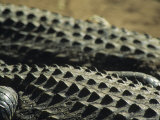 The Backs of Crocodiles in the African Sun  South Africa