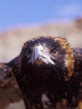 The Intense Glare of a Black Breasted Buzzard  Australia