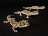 Three Female Leopard Geckos at the Zoo  Sunset Zoo  Kansas