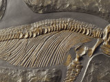 The Ribs and Spine of Ichthyosaur Fossil Stenopterygius Quadriscissus  Australia