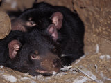 Tasmanian Devils Rest in a Hollow Log with Feathers Left from a Meal  Australia