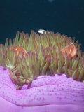 Solomon Islands Amphiprion Perideraion Anemonefish Clown Fish Close-Up