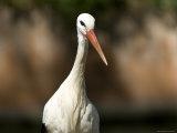 White Stork at the Sedgwick County Zoo  Kansas
