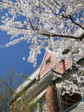 Springtime Flowering Tree against Old Brick Home and Blue Sky
