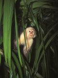 White Face Monkey  Cebus Capucinus in Tree  Costa Rica