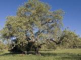 Valley Oak Tree in Spring  California