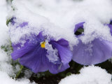 Snow on Pansies  Lexington  Massachusetts