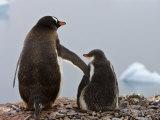 Tender Moment  Gentoo Penguins  Antarctica
