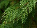 Yellow Cedar Branch and Rain Drops  Alaska