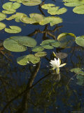 Water Lilies with White Bloom Floating on a Pond  Groton  Connecticut