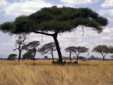 Zebra Shading Themselves under an Umbrella Acacia Tree