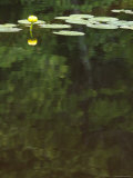 Water Lily is Reflected on the Surface of Moosehead Lake  Maine