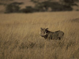 Warthog Portrait on Savannah Grassland with Large Tusks and Ears Alert  Serengetti  Tanzania