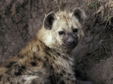Young Spotted Hyena Pup Rests in the Shade of a River Bank