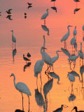 Wading Birds Forage in Colorful Sunset Water  Bombay Hook  Delaware