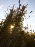 Wetland Tall Grasses Filter Evening Light on the Chesapeake Bay