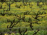 Vines Among Mustard Flowers  Magill  South Australia