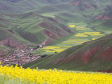 Village Nestled in a Valley and Fields Wheat and Flowering Rape  Qinghai  China
